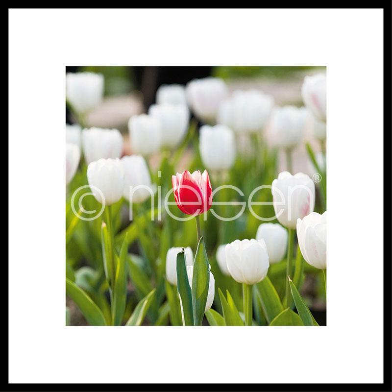 """Gerahmtes Bild """"Tulips"""" mit Alurahmen C2"""